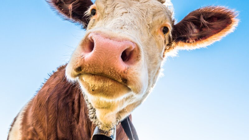 Customer experience research: why it's not a 'cow and scale' story
